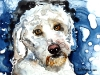 white-labradoodle-scan